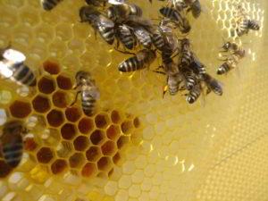Wabe mit Pollen und Bienen