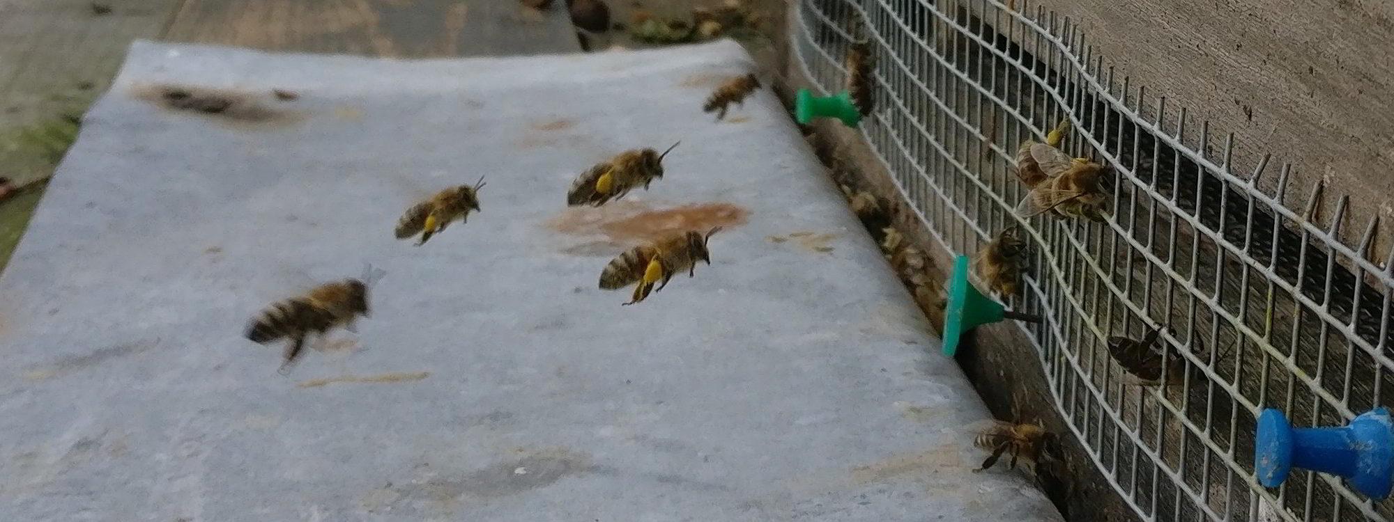 Pollenbeladene Bienen im Anflug