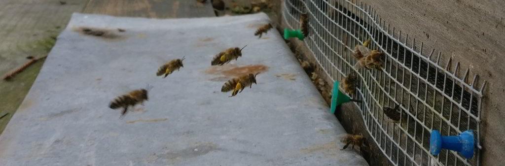 Anflug ans Flugloch mit Mäusegitter. Bienen tragen den Pollen in ihren Höschen in den Bienenstock.