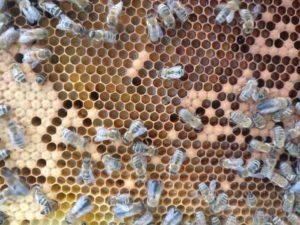 verschiedenfarbiger Pollen in der Wabe