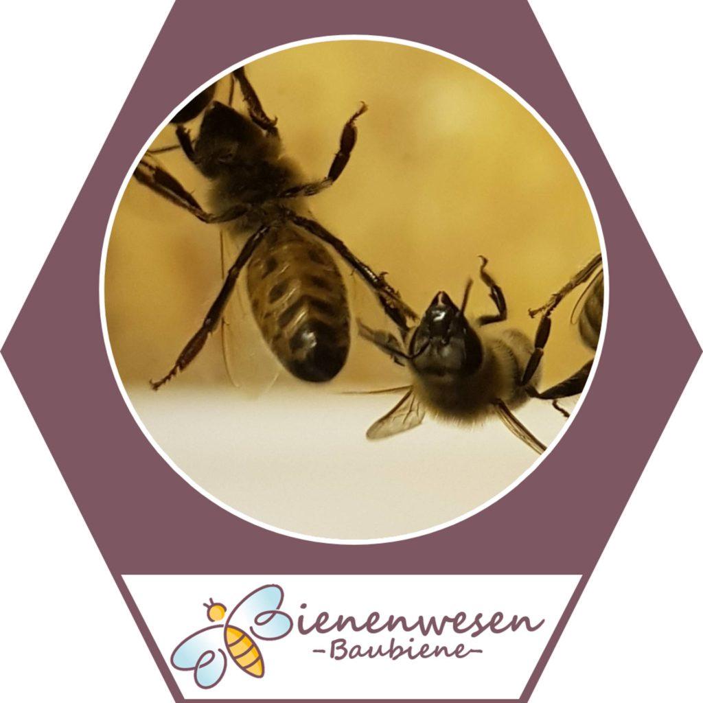 baubiene Bienenwesen